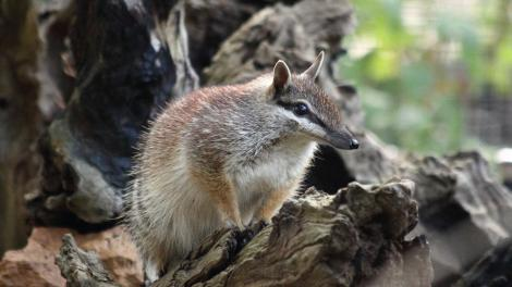 A numbat emerging from a wooden burrow