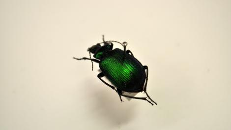 Image of a shiny green and black beetle