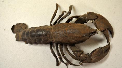 A freshwater crayfish specimen