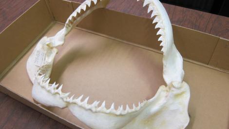 A shark's jaw