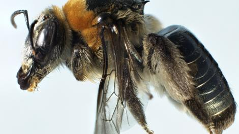 A mounted female bee specimen from an undescribed bee species