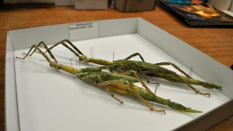 Two native Western Australian stick insects in their storage box