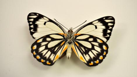 A native Australian butterfly specimen