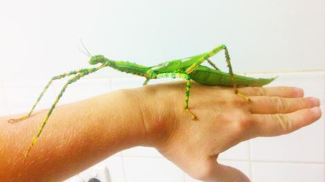 A large stick insect crawling over someone's arm