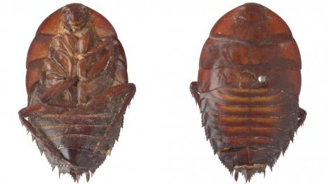 Two type specimens of a beetle from the WA Museum Entomology Collection