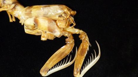 A closeup view of the claws of a Zebra Mantis Shrimp