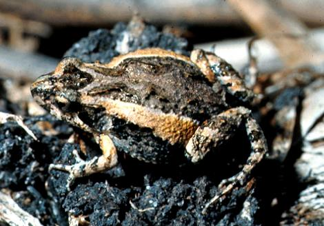 Squelching Froglet Striped Morph