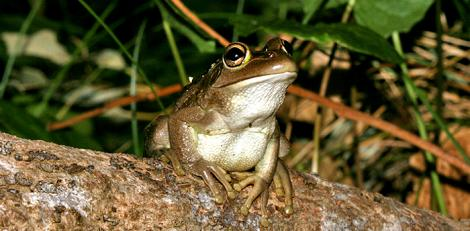Motorbike Frog at Yanchep