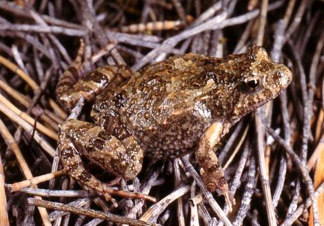 Bleating Froglet