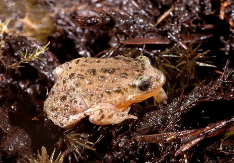 Orange or Yellow-bellied Frog