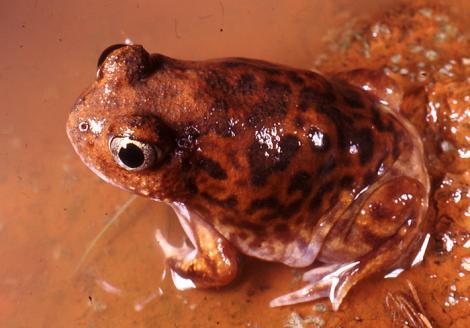 Shoemaker Frog
