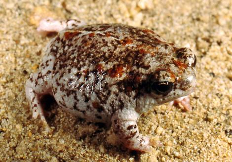Northern Sandhill Frog