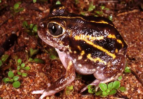 Plonking Frog
