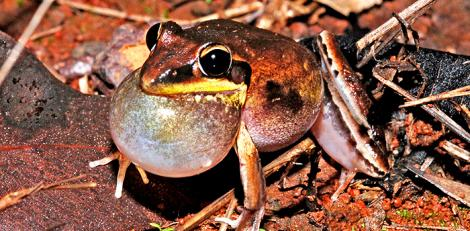 Calling Male Black Shinned Rocket frog