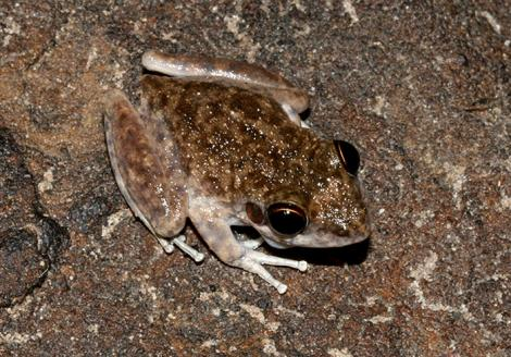 Chattering Rock Frog