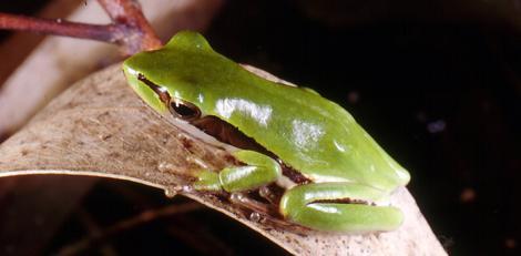 Green Slender Tree Frog on a Leaf