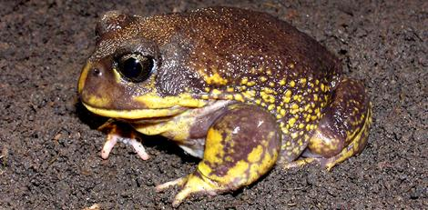 Large Male Hooting Frog