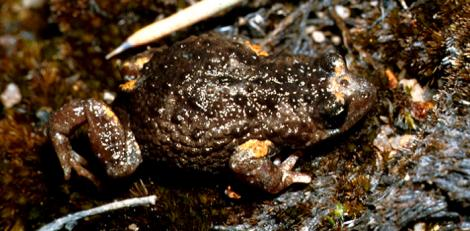 Forest Toadlet on the forest floor