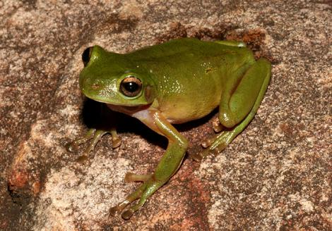 Cave Frog