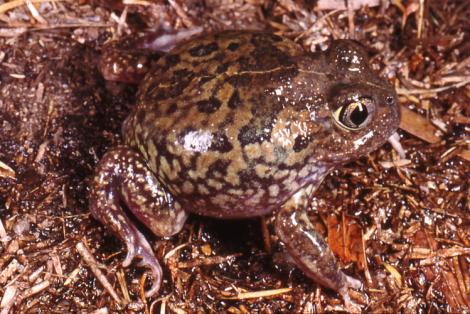 Centralian Trilling Frog