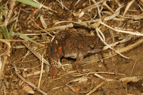 Blacksoil Toadlet
