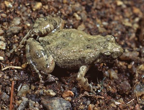 Chirping Froglet
