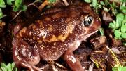 Moaning Frog, dark coloured