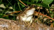 Motorbike Frog looking out from a tree