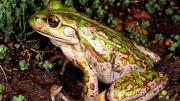 Large Motorbike Frog