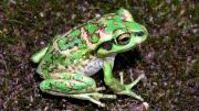 Baby Motorbike Frog