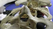 Spinal bones, vertebrae, of the Blue Whale are laid out on a table with a purple cloth on it