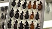 A box of various native Australian beetles