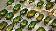 Shiny green and yellow native Australian beetles