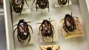 Native Australian beetles in a box