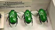 Lime-green coloured native Australian beetles