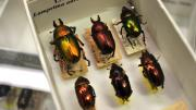 Box of Australian Golden Stag Beetles