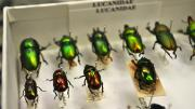 Box of shiny green - brown beetles