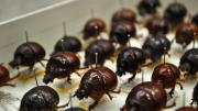 Box of brown bulbous Australian beetles