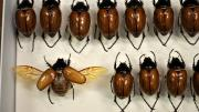 Box of brown Australian beetles
