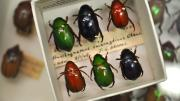 Box of green, red and blue coloured Australian beetles