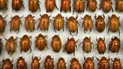 Box of light brown Australian beetles