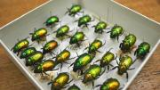 Shiny green and golden beetles in a box