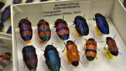 Stripy colourful Australian beetles