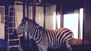 A taxidermy zebra.