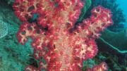 A pink soft coral under water