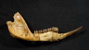 Kangaroo ancestor jaw