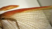 Detail of a spread wing of a native Western Australian stick insect