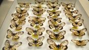 Native Australian butterfly specimens in their storage box