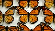 Nine introduced butterfly specimens