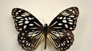 A native Australian butterfly specimen
